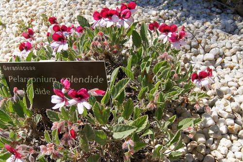 P. 'Splendide'