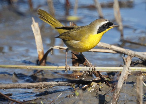 Common Yellow Throat (Male)