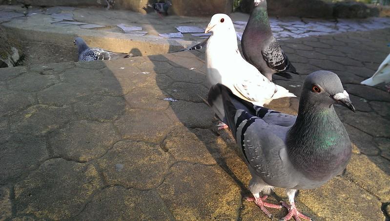HTC拍的鸽子都会飞了12 16更新 慢慢捕捉到了图片