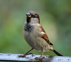 animal, sparrow, ortolan bunting, nature, fauna, emberizidae, beak, house sparrow, brambling, bird,