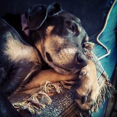 Lazy weekend mornings are tough... #dogstagram #instadog #dobermanmix #dobiemix #love #paw #lazymorning #sleepy