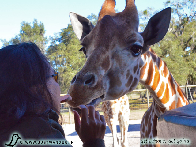 PIC: Maya of JustWander.in feeding giraffes sweet potato at Giraffe Ranch