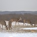 Deer Feeding in North Union Township, PA