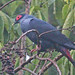 Madagascar Blue-Pigeon - Photo (c) Jerry Oldenettel, some rights reserved (CC BY-NC-SA)