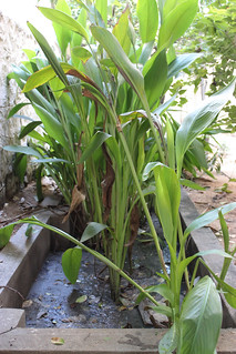 Kitchen and bath water diverted into a bed of cannas