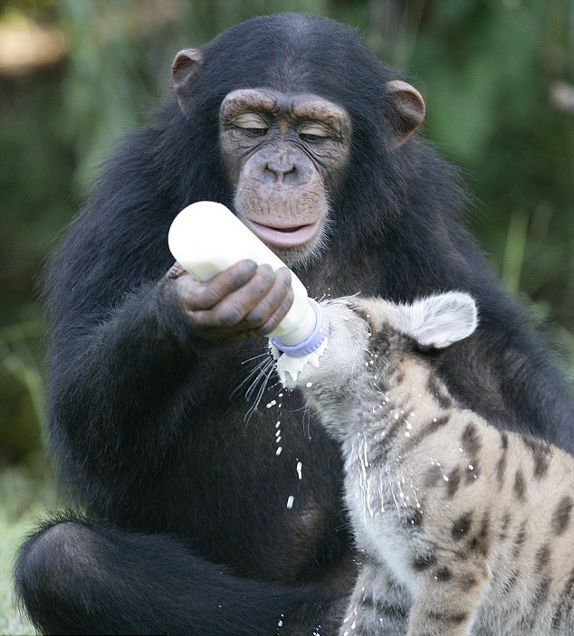 Anjana the chimp with Sierra the puma cub.