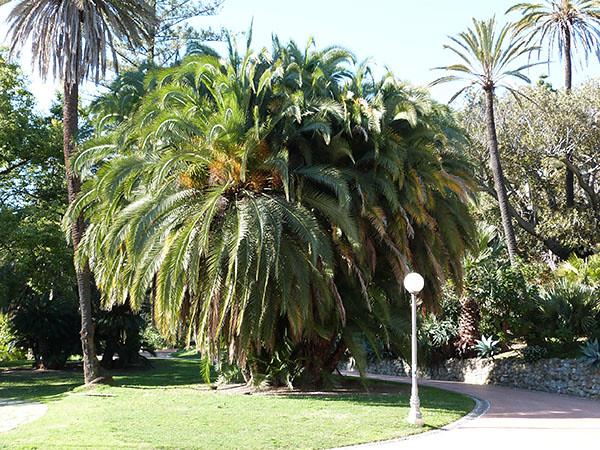 palmier géant