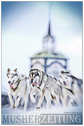 Siberian Huskies leaving Røros - Femundløpet 2014