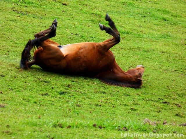 Horse Rollover