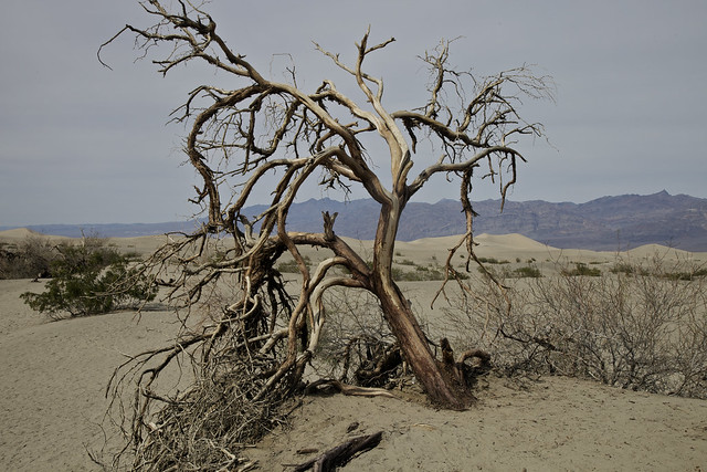 The Tree at the Dunes