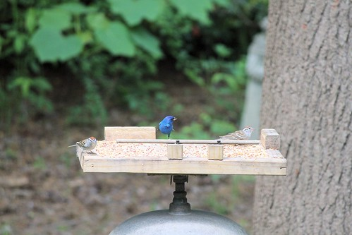 CrabAppleLane Indigo Bunting - April 11, 2014