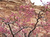 Blossoming orchards in Capitol Reef National Park