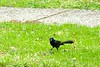 Grackle or Blackbird