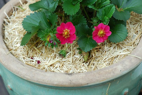 Strawberry plants by Eve Fox, the Garden of Eating blog, copyright 2014