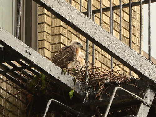 JHW Hawk Nest (0465)