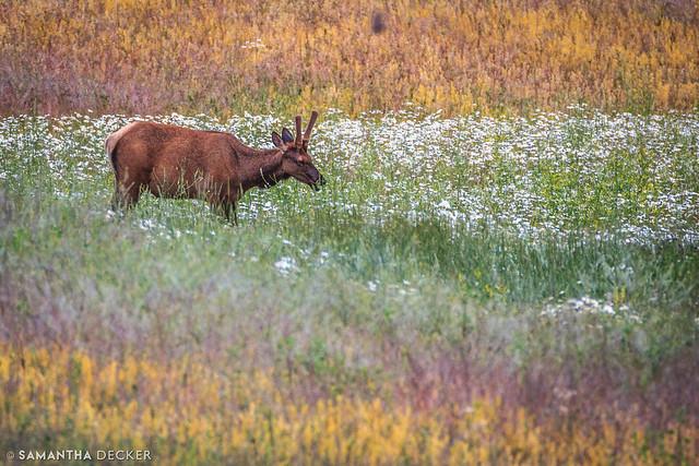 Elk on the Lake Minnewanka Loop