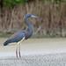 Tricoloured Heron, San Blas, Nayarit, Mexico por Terathopius