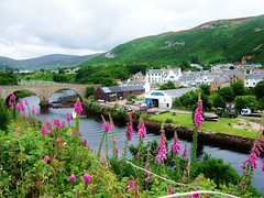 Foxgloves at Helmsdale, Sutherland