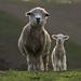 Ewe and Lamb by RLWilsonPhotography