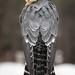 Aplomado Falcon by Jon David Nelson