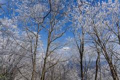 霧氷は青空が良い