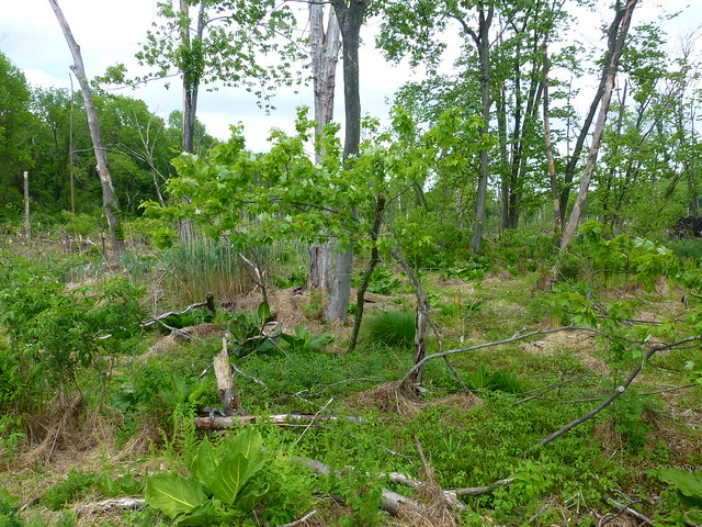 rattlesnake swamp - P1290246