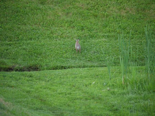 wild rabbit runs away