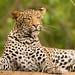 Leopard (Albie Venter)