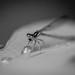 Thursty Dragonfly B&W by Drachenfanger