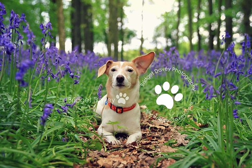 Taz at Bluebell Woods | Hertfordshire, England