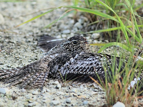 Common Nighthawk 2-20130525