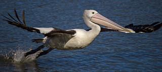 Pelican Leap