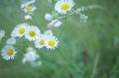 dandelion(0.0), grass(0.0), chamaemelum nobile(0.0), daisy(0.0), oxeye daisy(0.0), daisy(0.0), flower(1.0), plant(1.0), macro photography(1.0), wildflower(1.0), flora(1.0), meadow(1.0),