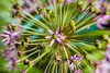 Allium_MG_2467