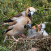 Hawfinch by roy rimmer