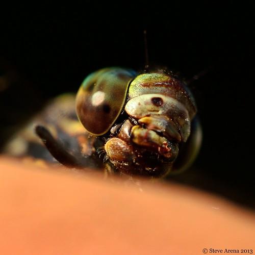 bug ode dragonfly darner harlequindarner odenate wachusettview