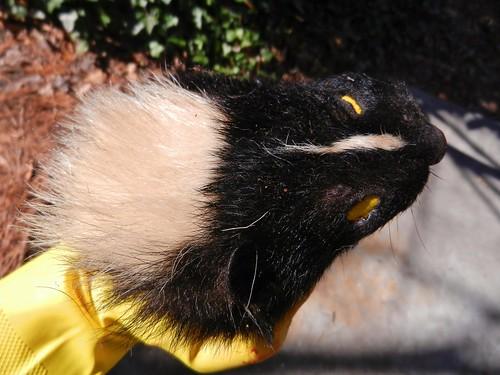 eye face bag fur hands skin stripe northcarolina holes hide skunk greenville stripedskunk mephitismephitis gelatheskunk