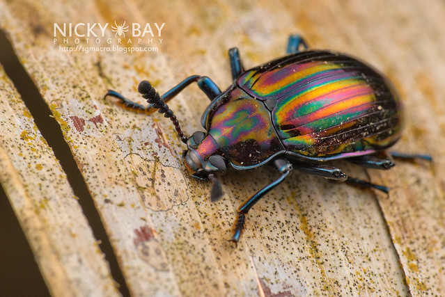 Darkling Beetle? (Tenebrionidae) - DSC_1404