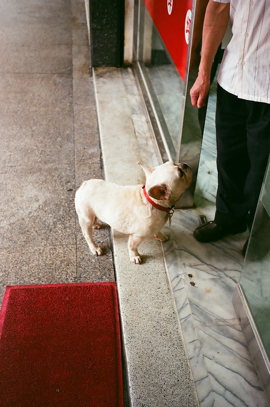 French Bulldog in Taipei
