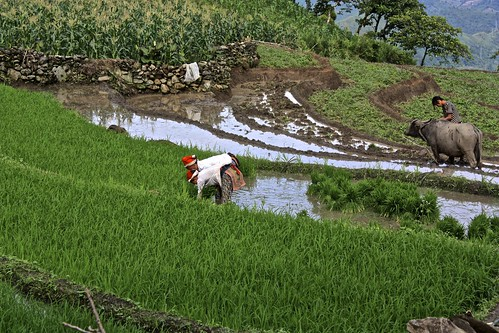 Two Yao women pick rice to be replanted