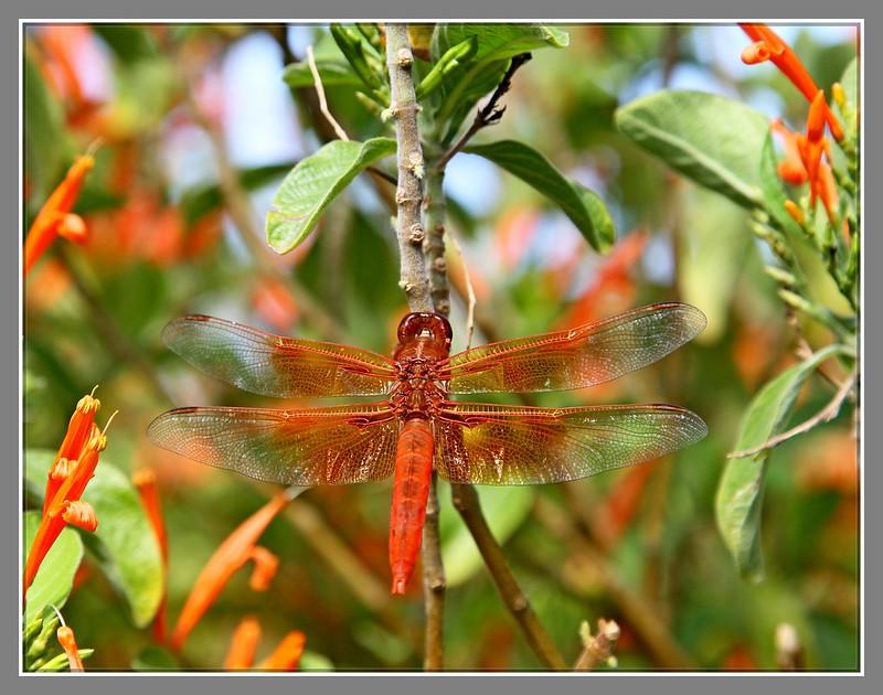 红蜻蜓_图1-5