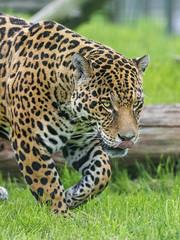 Ares the jaguar walking