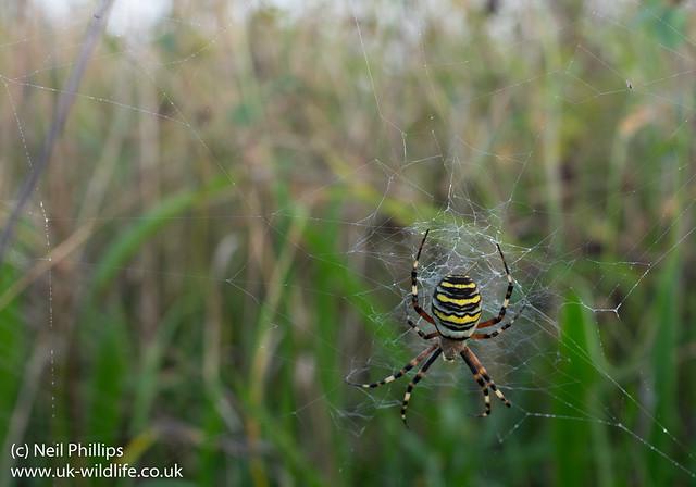 Wasp spider_