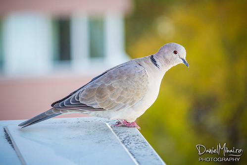 A pigeon on my AC unit by Daniel Mihai