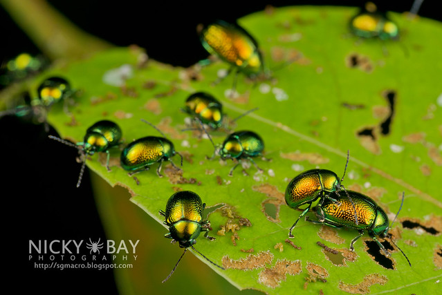 Beetles - DSC_7709