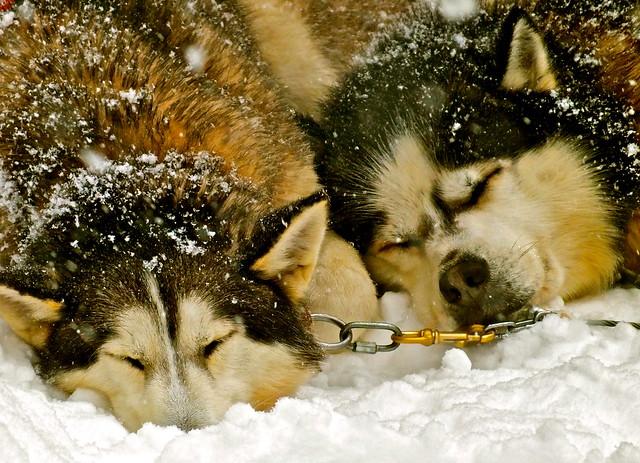 Les meilleures activités du Quebec chiens de traînneau