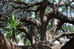 San Antonio - Live Oak Tree at the Alamo
