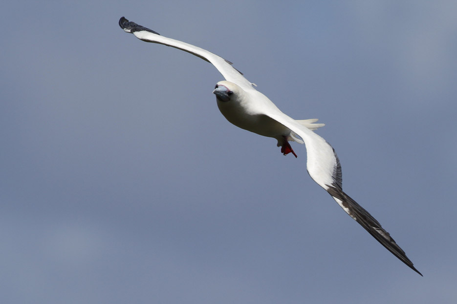100513_08_list_redFootedBooby02