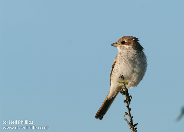 red shrike Juvenile-9