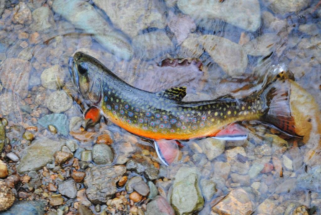 Американский голец (Палия), Brook trout